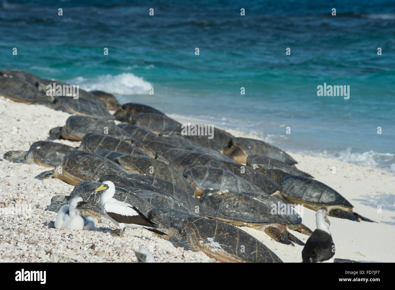 masked boobies and green sea turtles, Chelonia mydas, basking on beach, French Frigate Shoals, Northwestern Hawaiian - Stock Image