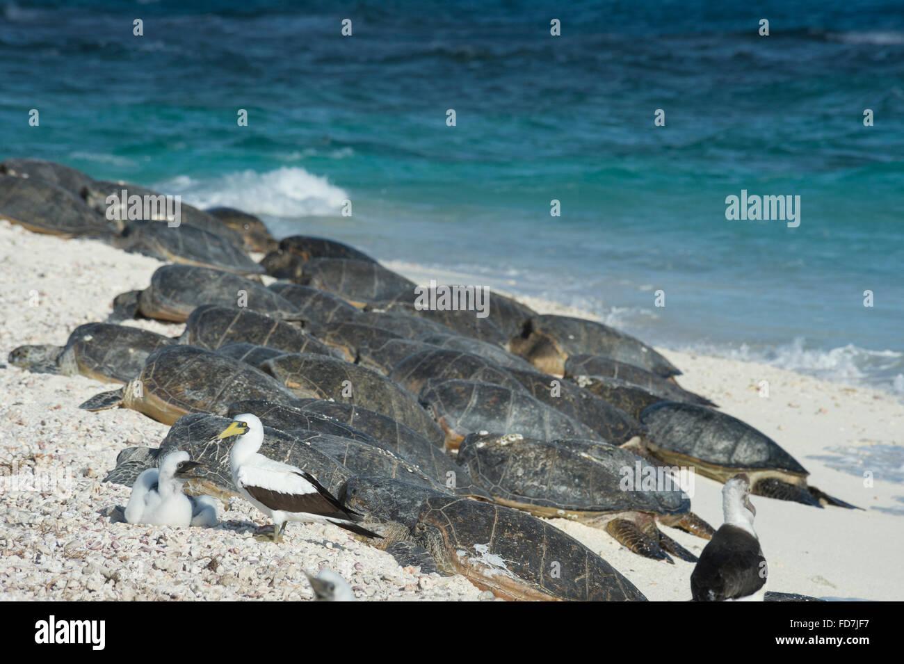 masked boobies and green sea turtles, Chelonia mydas, basking on beach, French Frigate Shoals, Northwestern Hawaiian Stock Photo