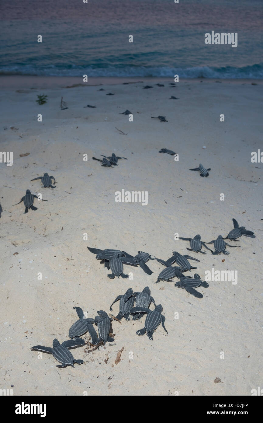 leatherback sea turtle hatchling stock photos