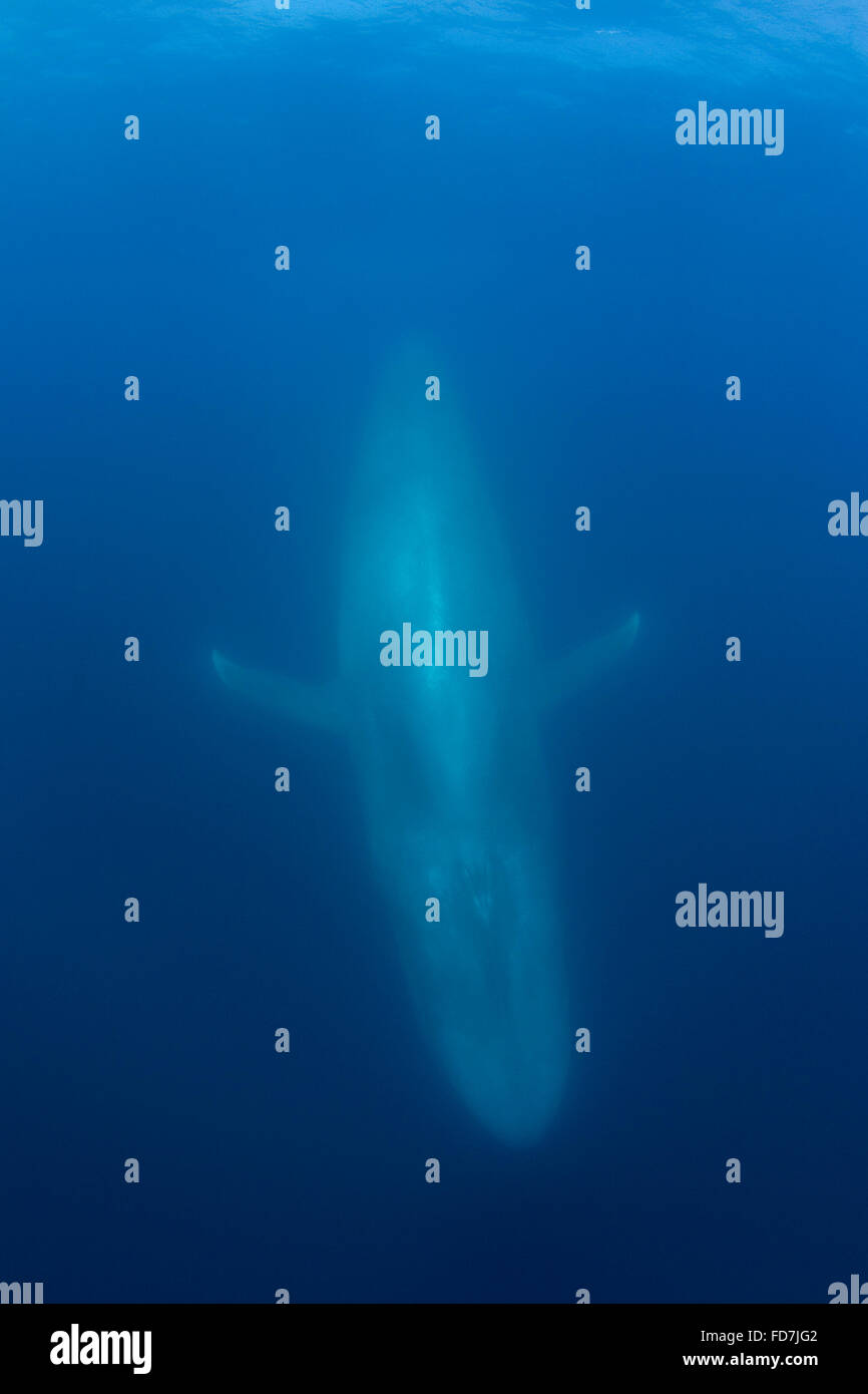 blue whale ( Balaenoptera musculus ) diving, Endangered Species, California, USA ( Eastern Pacific Ocean ) - Stock Image