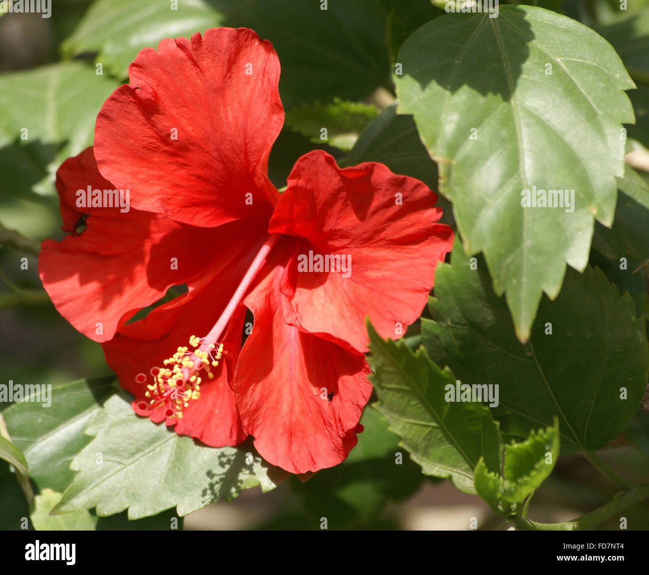 Hibiscus Rosa Sinensis China Rose Evergreen Ornamental Shrub Or
