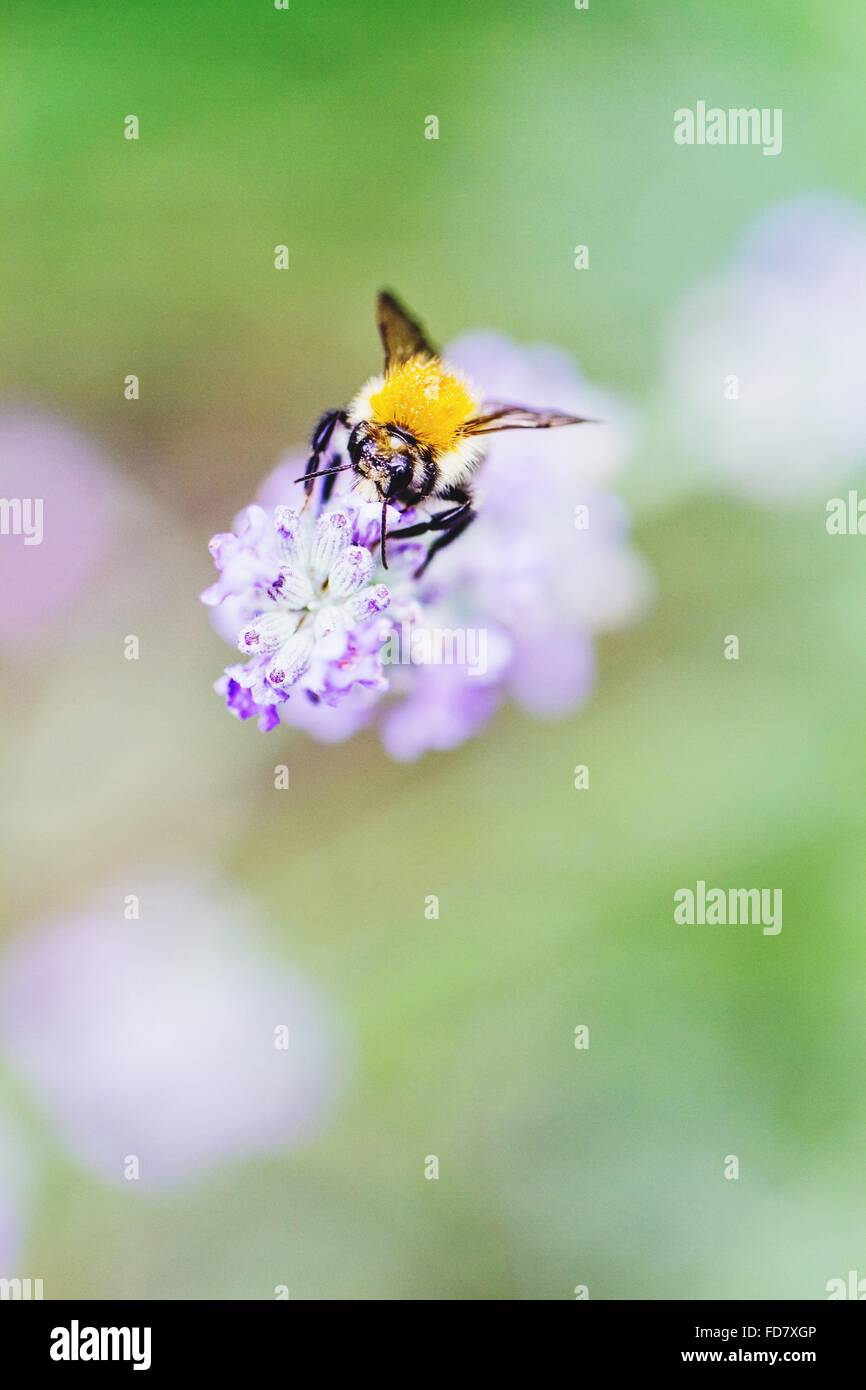 Bumblebee On Lilac Flower - Stock Image