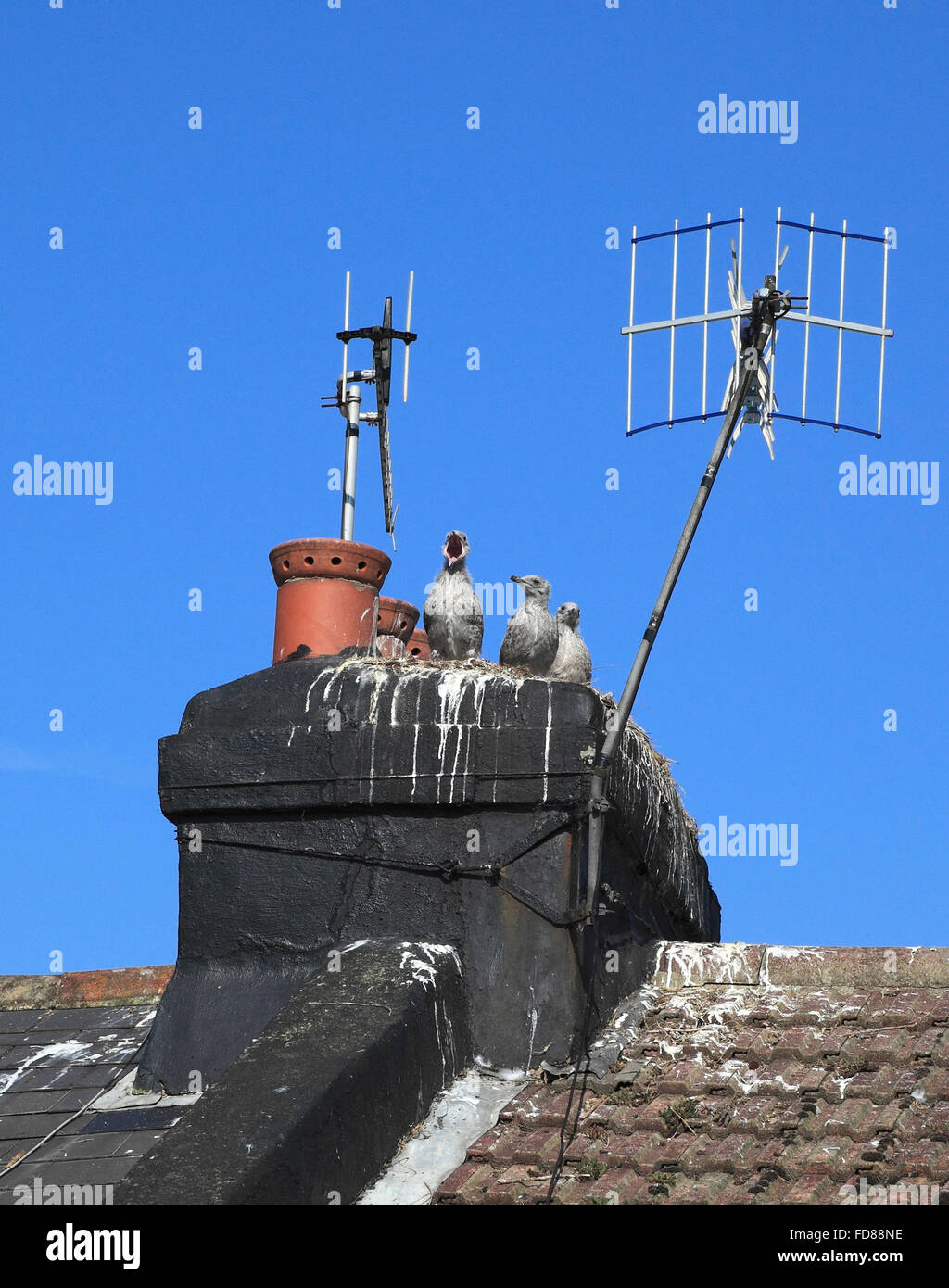 Three seagull chicks on a rooftop chimney stack waiting to be fed - Stock Image