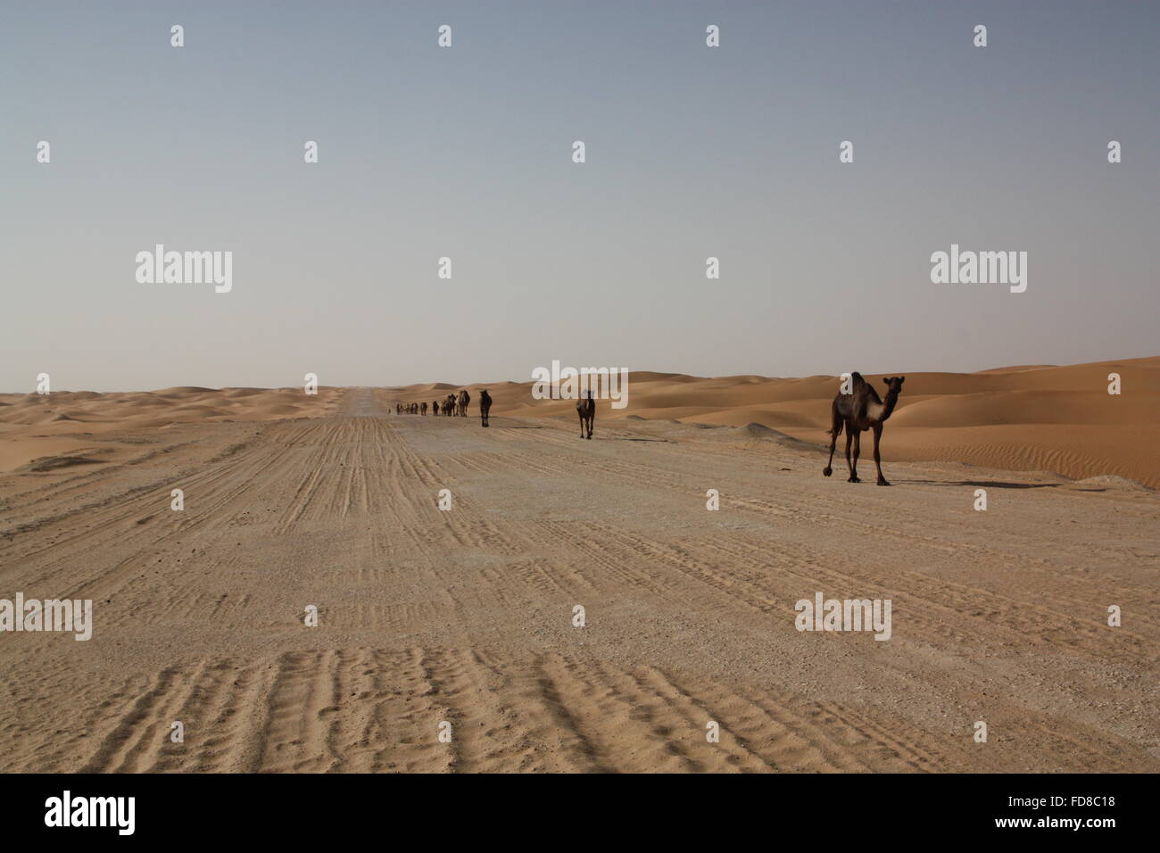 Camels Walking On Desert Road Against Clear Sky - Stock Image