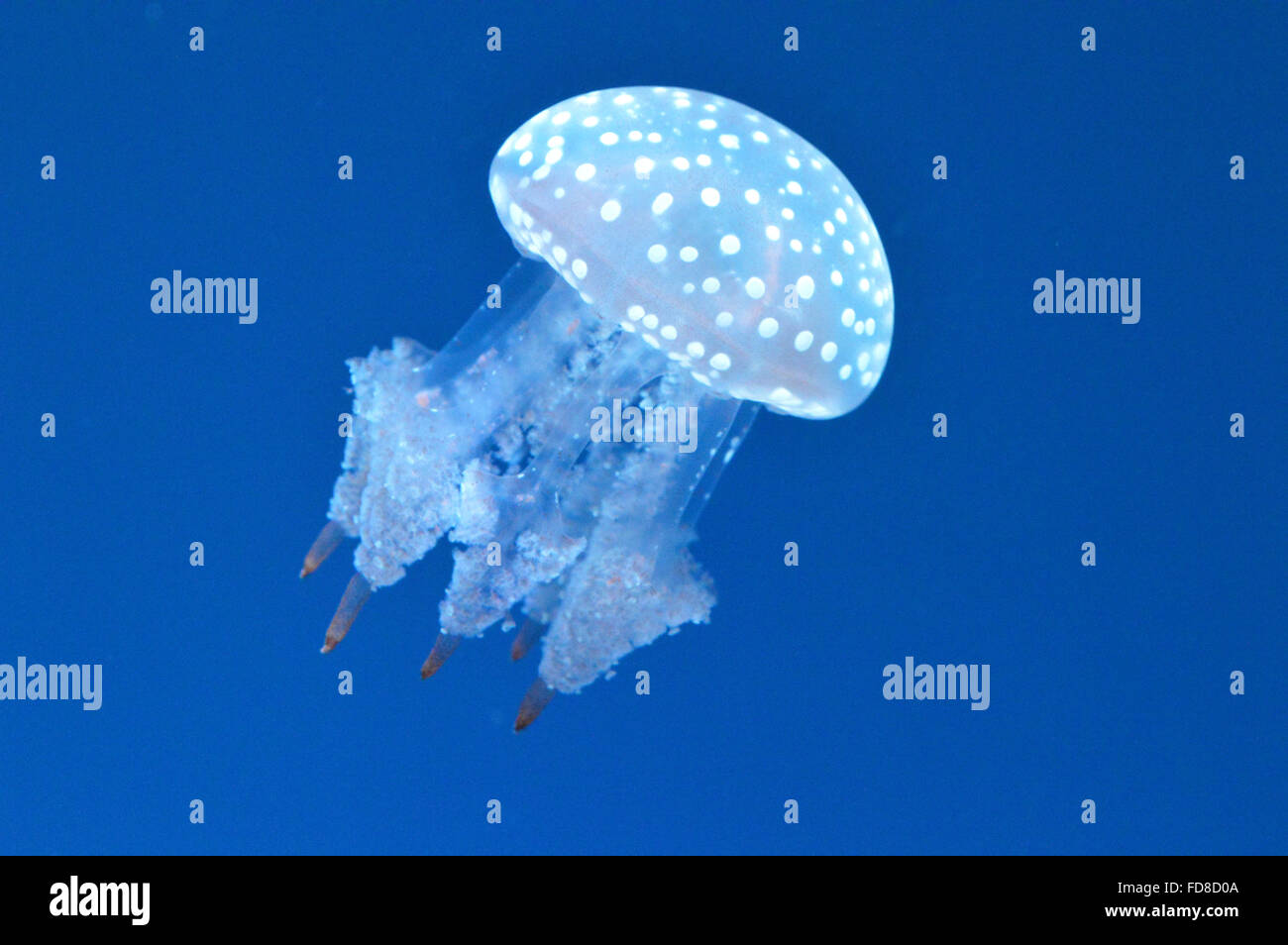 Spotted Jellyfish In Sea - Stock Image