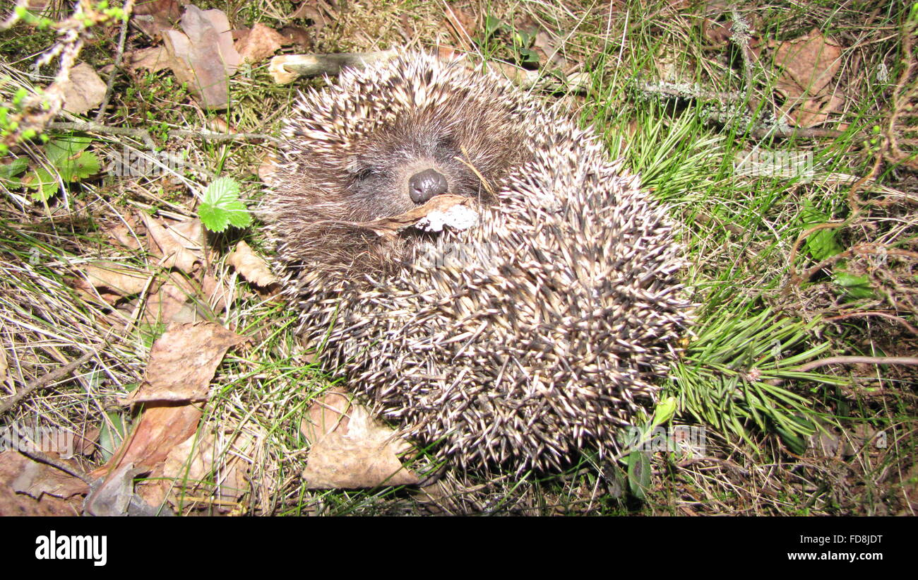 Hedgehog Relaxing On Field - Stock Image