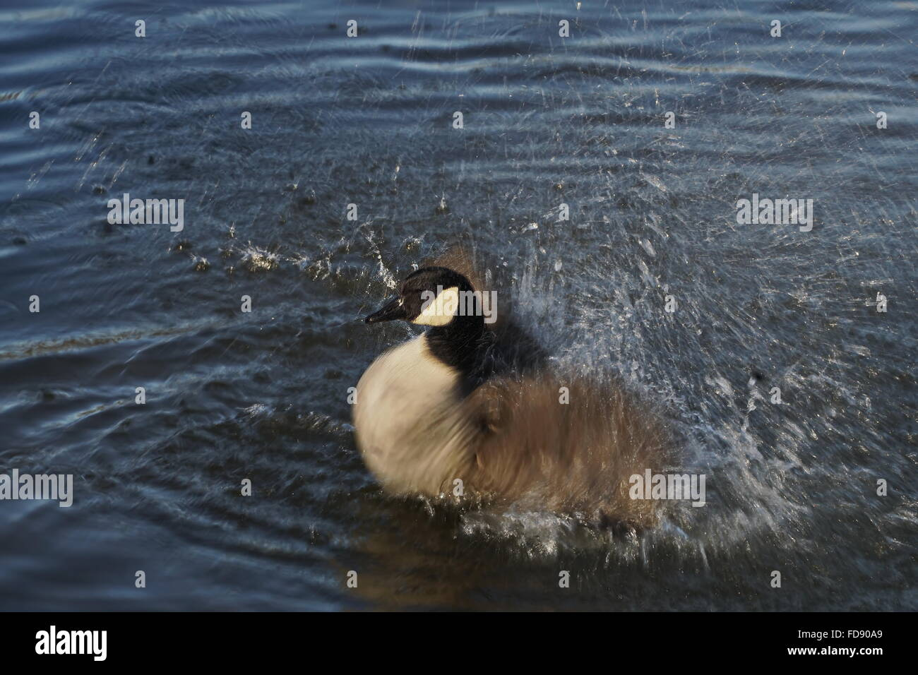 London,England, UK : 28th Jan 2016 : Greylag goose at Leytonstone, Epping Forest in London. Photo by See Li Stock Photo