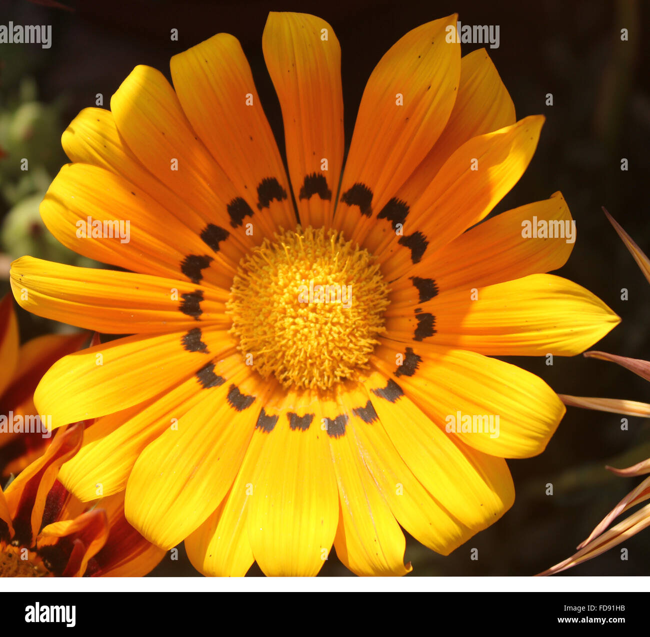 Gazania ringens 'Talent Orange', Cultivated ornamental herb with silvery hairy leaves in basal rosette and - Stock Image