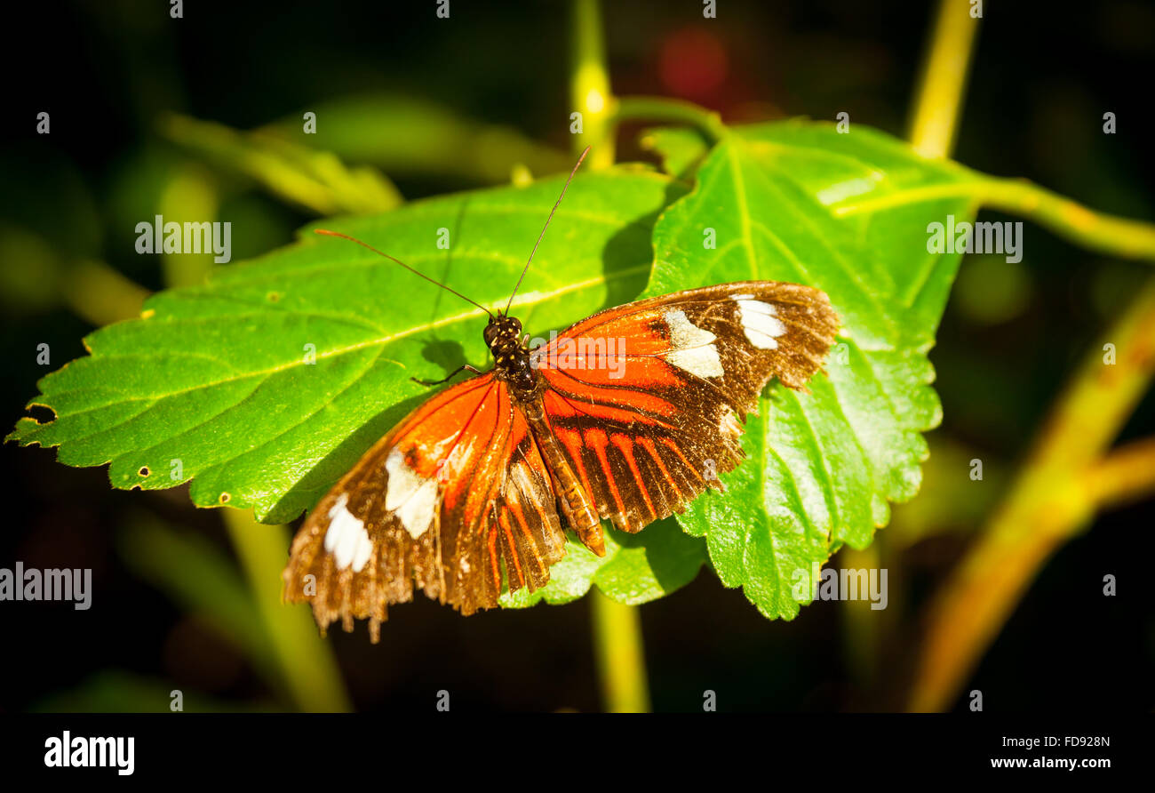 Butterfly orange wings with white blotches wings open on green leaf. - Stock Image