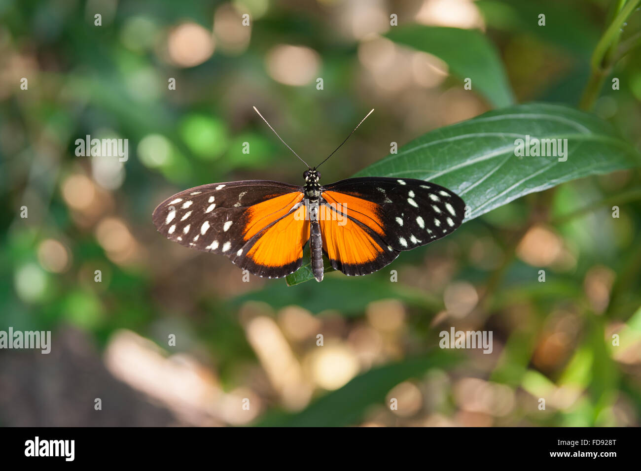brightly colored crimson patch butterfly settled wings open on green leaf - Stock Image