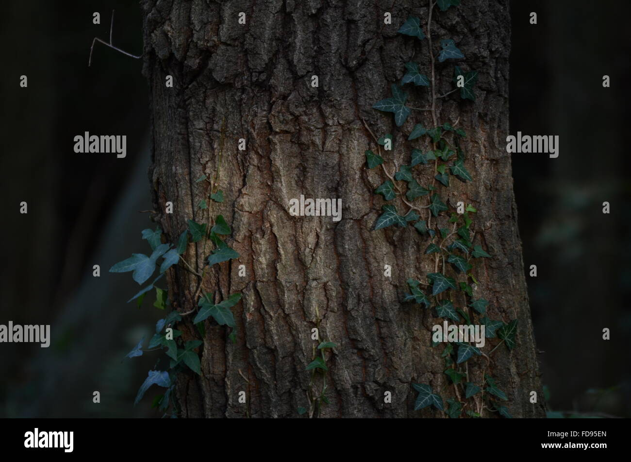 Ivy Growing On Tree Trunk - Stock Image