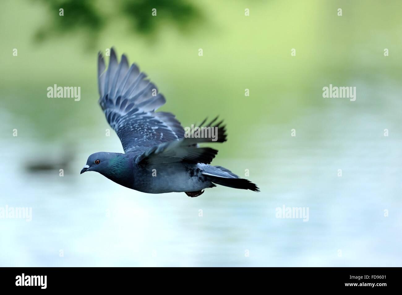 Bird Flying Above Lake - Stock Image