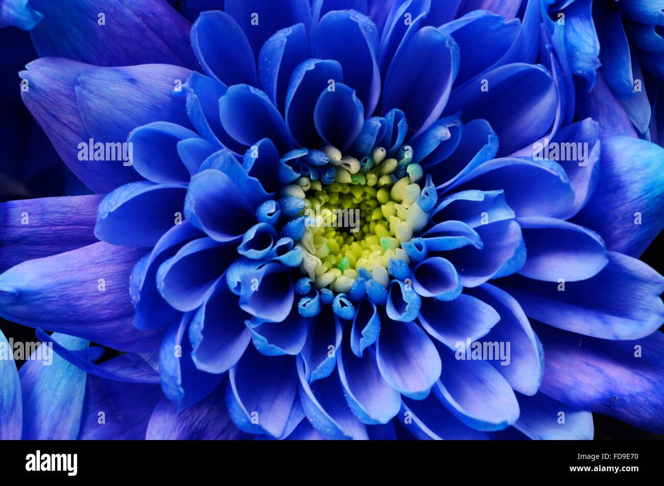 Macro Of Blue Aster Flower Petals Stock Photo 94251108 Alamy