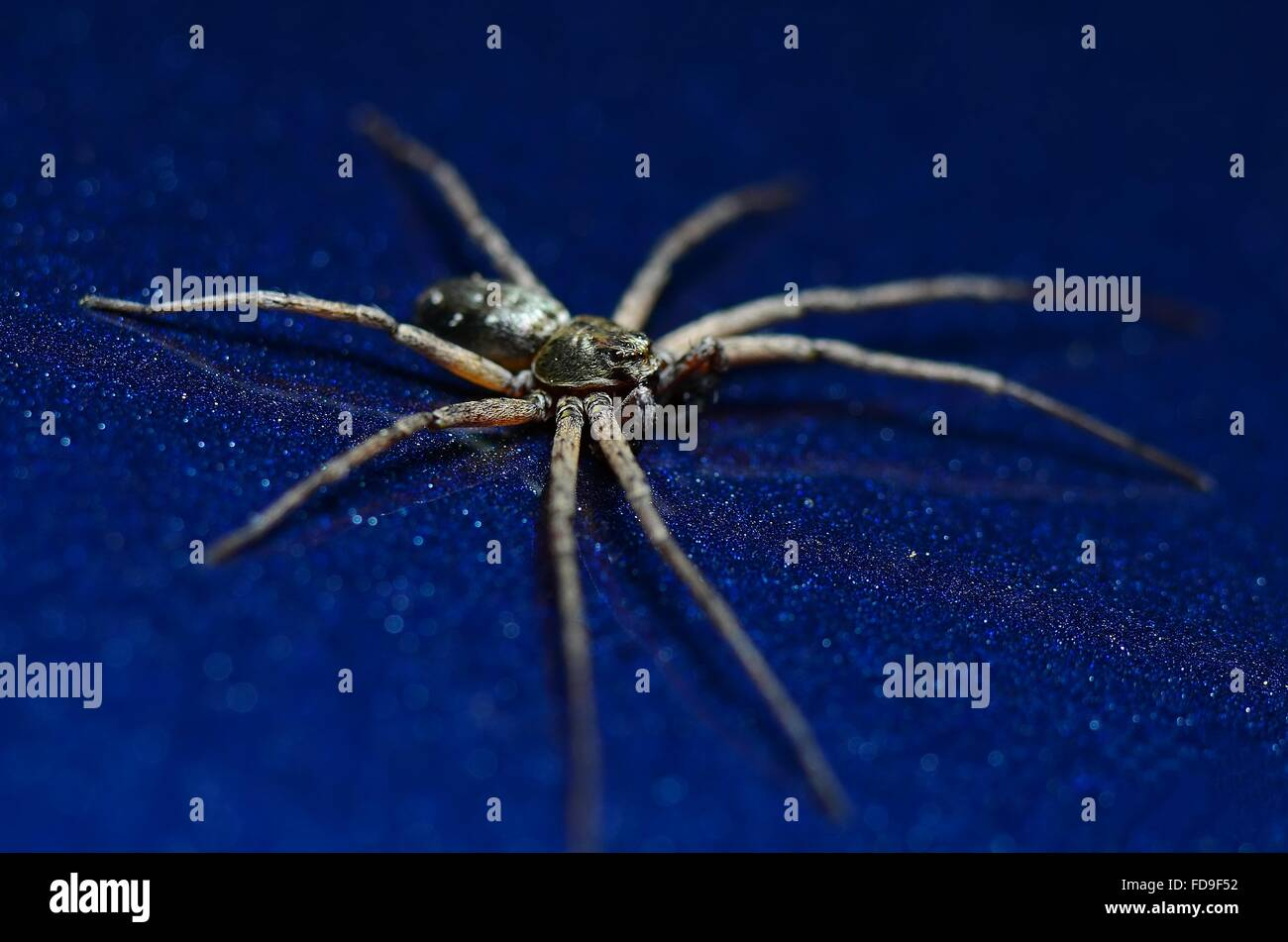 High Angle View Of Spider On Blue Table - Stock Image