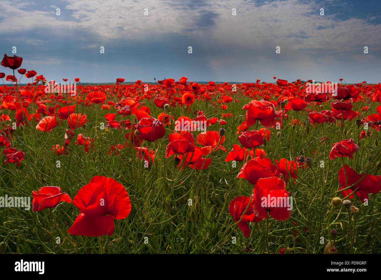 The huge field of red poppies flowers. Sun and clouds. View of a lot of poppies - Stock Image