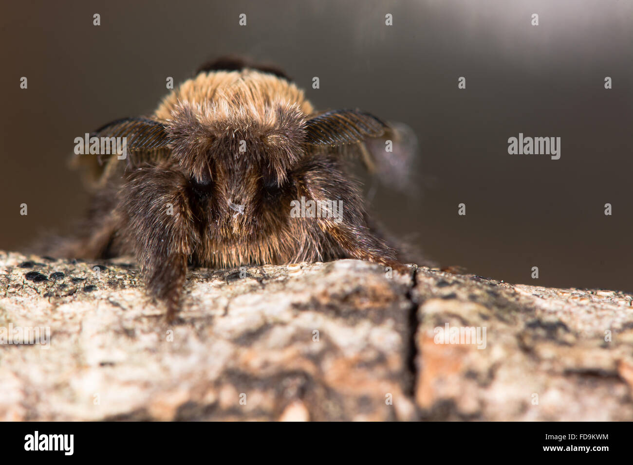 December moth (Poecilocampa populi) head on. A male moth found in winter, in the family Lasiocampidae - Stock Image