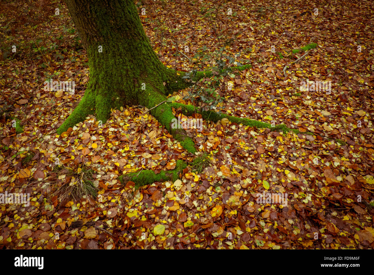 Walkways through Beech tress in an Autumn Forest Stock Photo