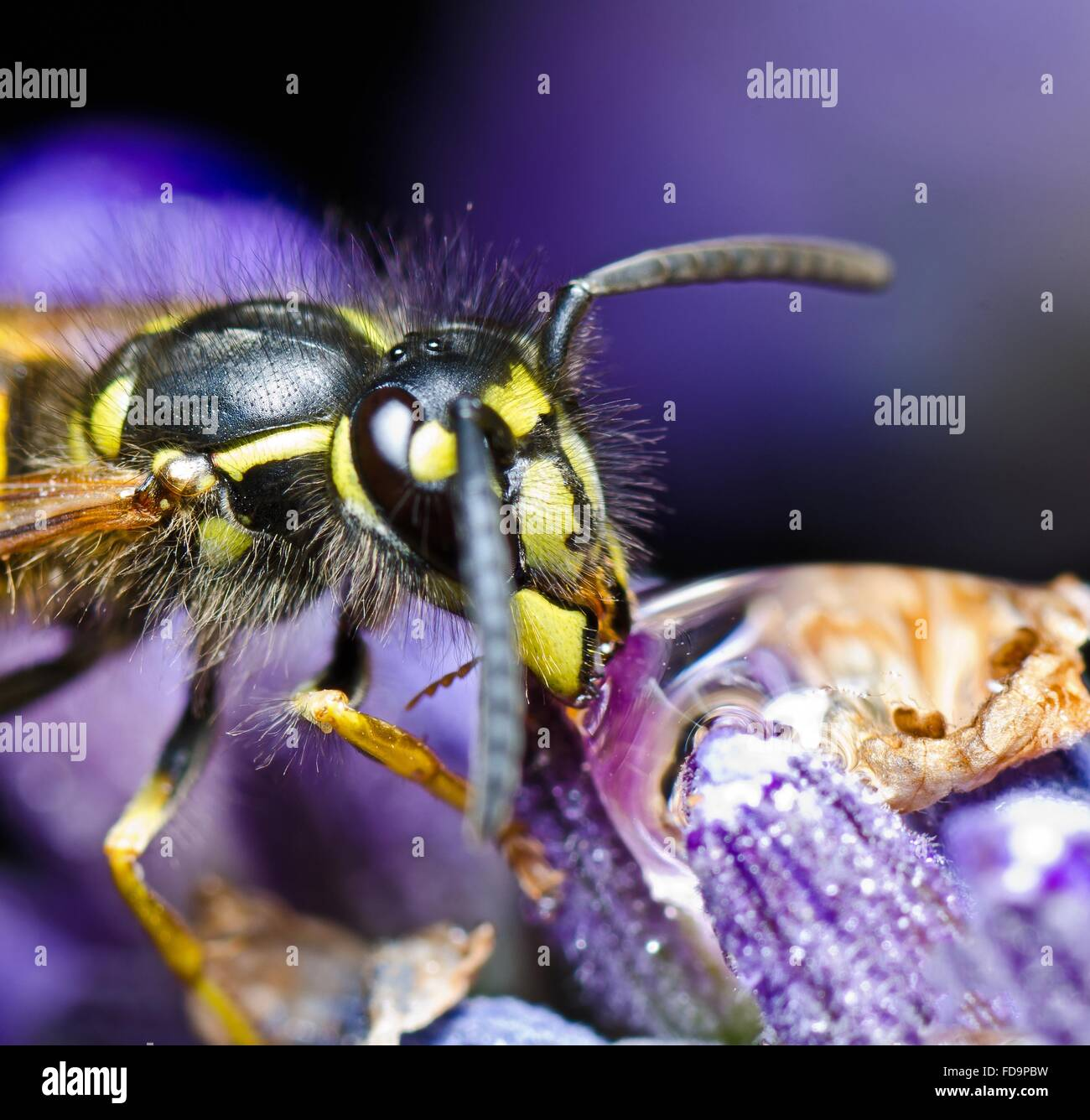 Extreme Close-Up Of Honey Bee On Flower - Stock Image