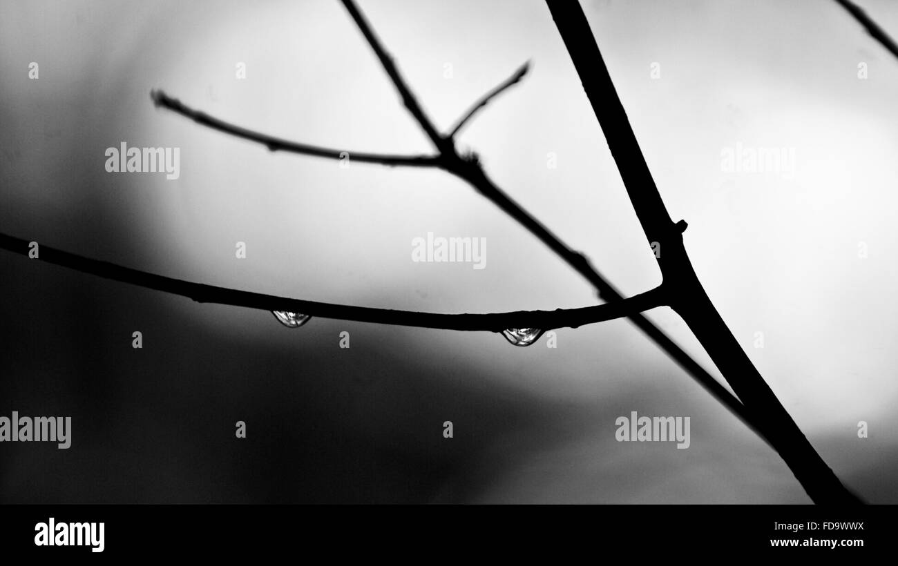 Close-Up Of Water Drop On Twig - Stock Image
