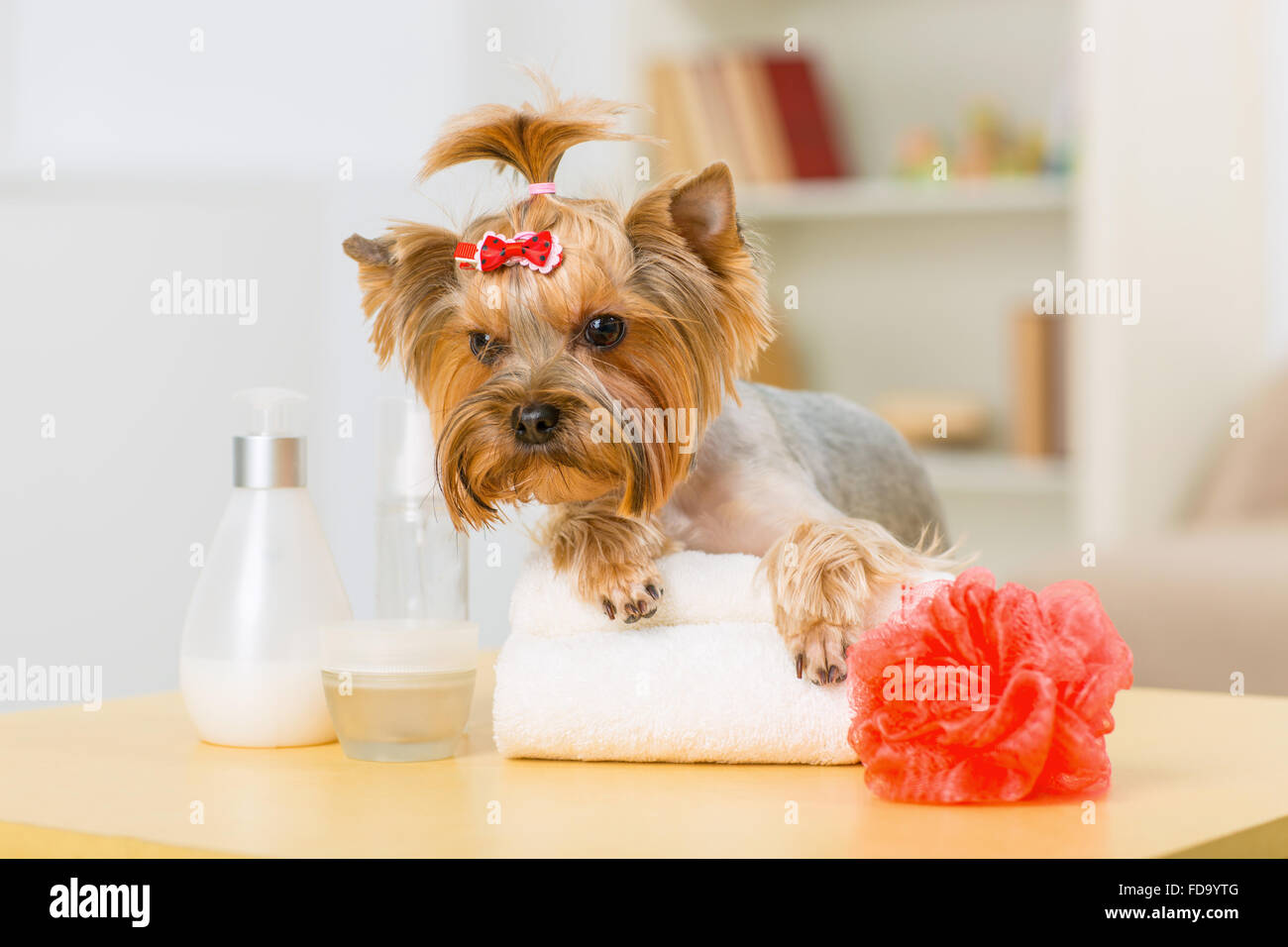 Yorkshire terrier on folded towel. - Stock Image