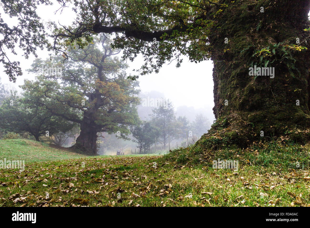 Cadzow Oaks in fog at dawn - Stock Image