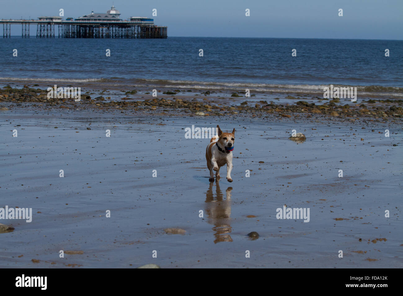 Pip the Jack Russell plays ball on the beach at Llandudno Stock Photo