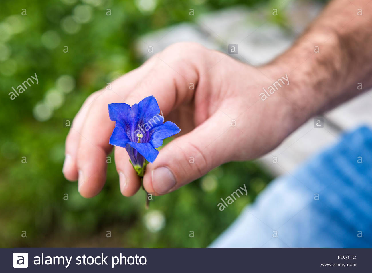 Closeup of man holding blue gentian into the camera - Stock Image