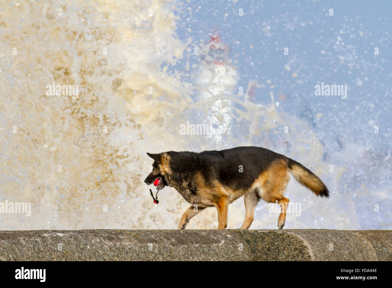 Dog plays on the beach, New Brighton, Wirral, UK 29th January, 2016.  UK Weather.  High winds and rough seas at - Stock Image