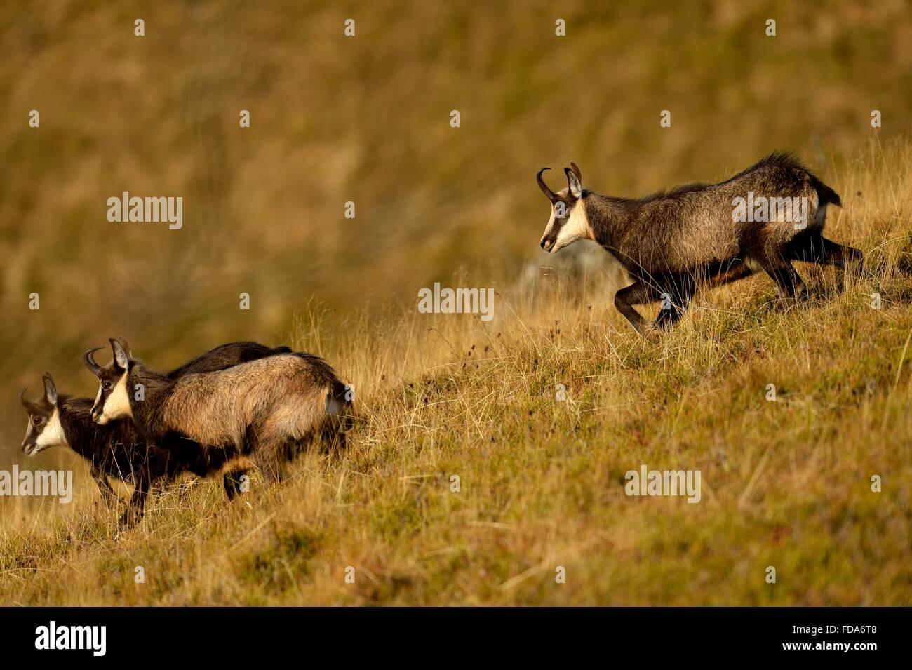 Chamois (Rupicapra rupicapra), rutting buck chasing does, Vosges, Alsace, Lorraine, France - Stock Image