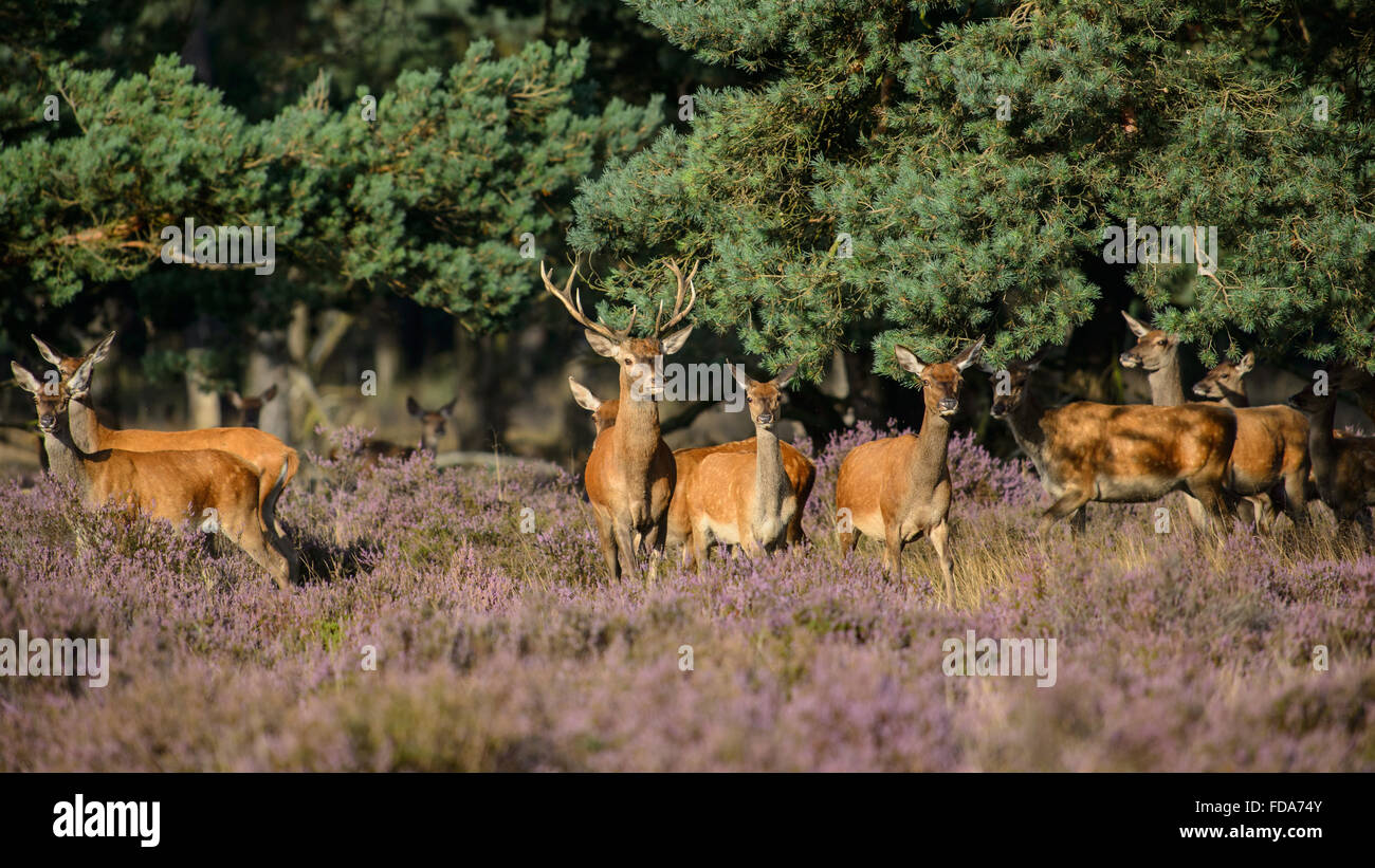 Herd of red deer leaving the woods to feed in field of purple heather - Stock Image