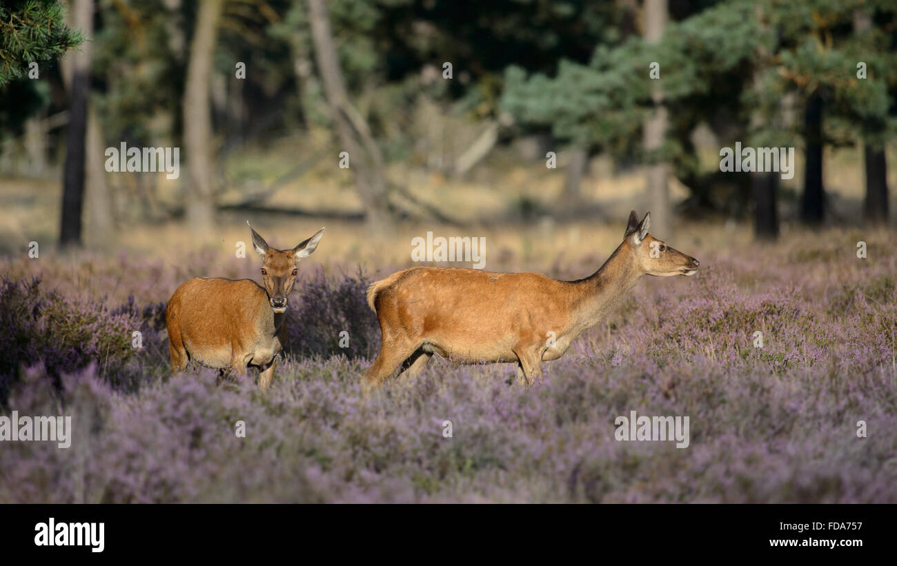 Two red deer does in blooming heather - Stock Image