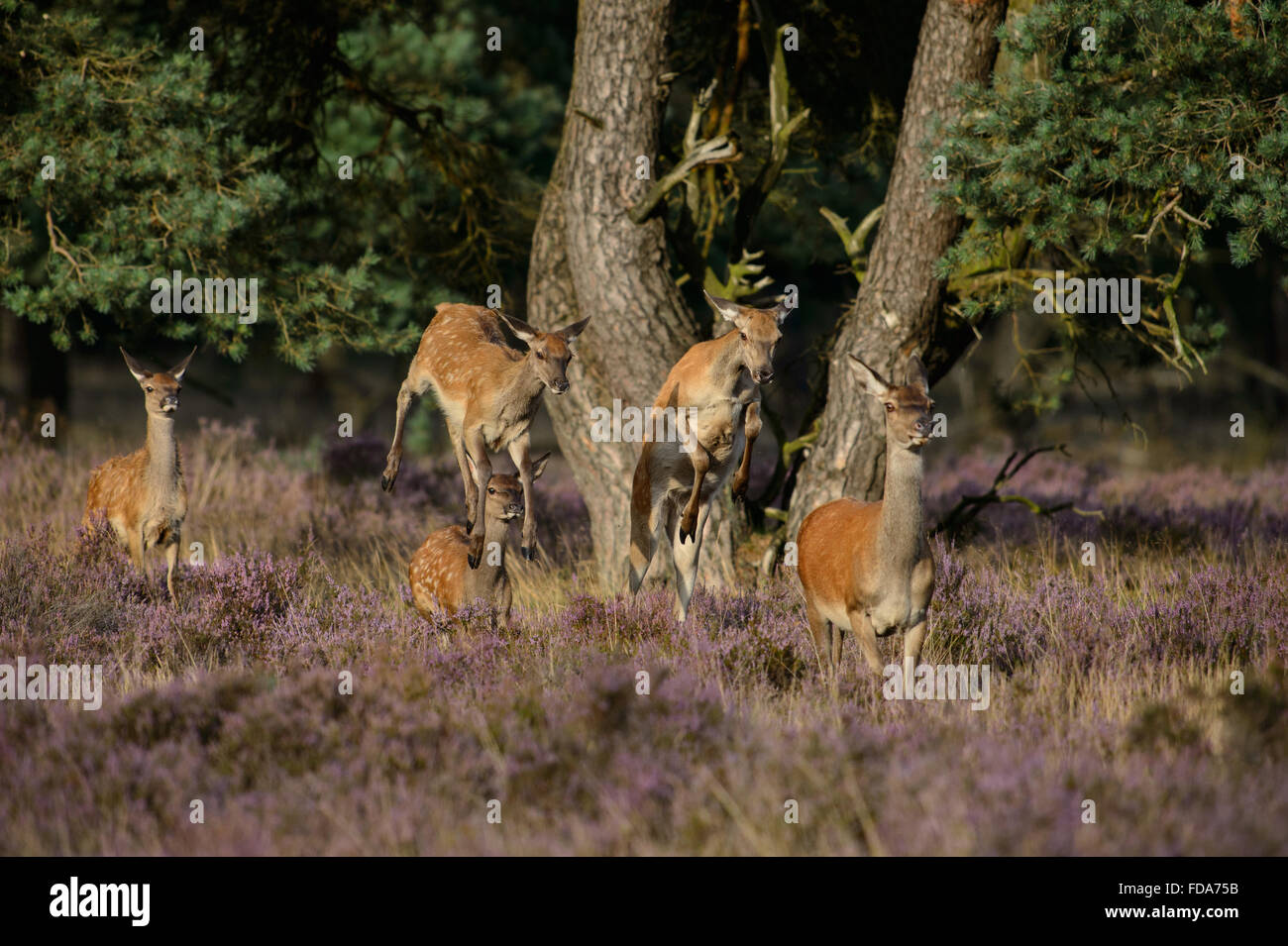 Red deer does and calfs, running, jumping and leaping when leaving the forest - Stock Image