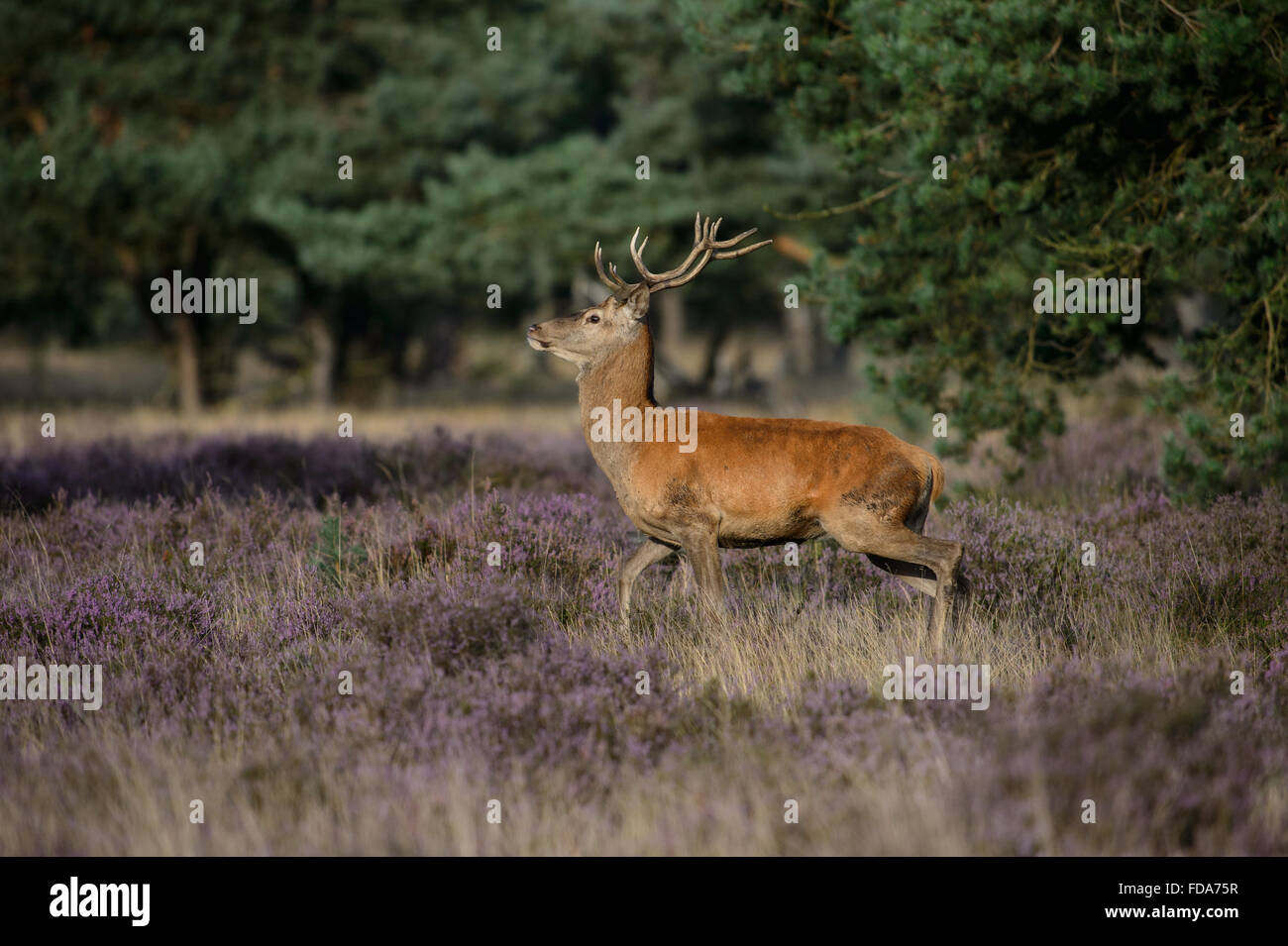 Red der stag with small antlers, in a field with blooming purple heather - Stock Image