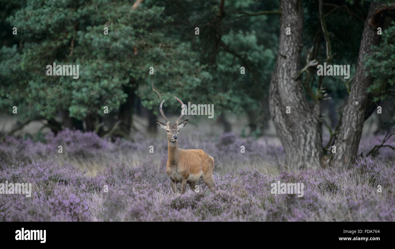 Red der stag with small velvet antlers, in a field with blooming purple heather - Stock Image