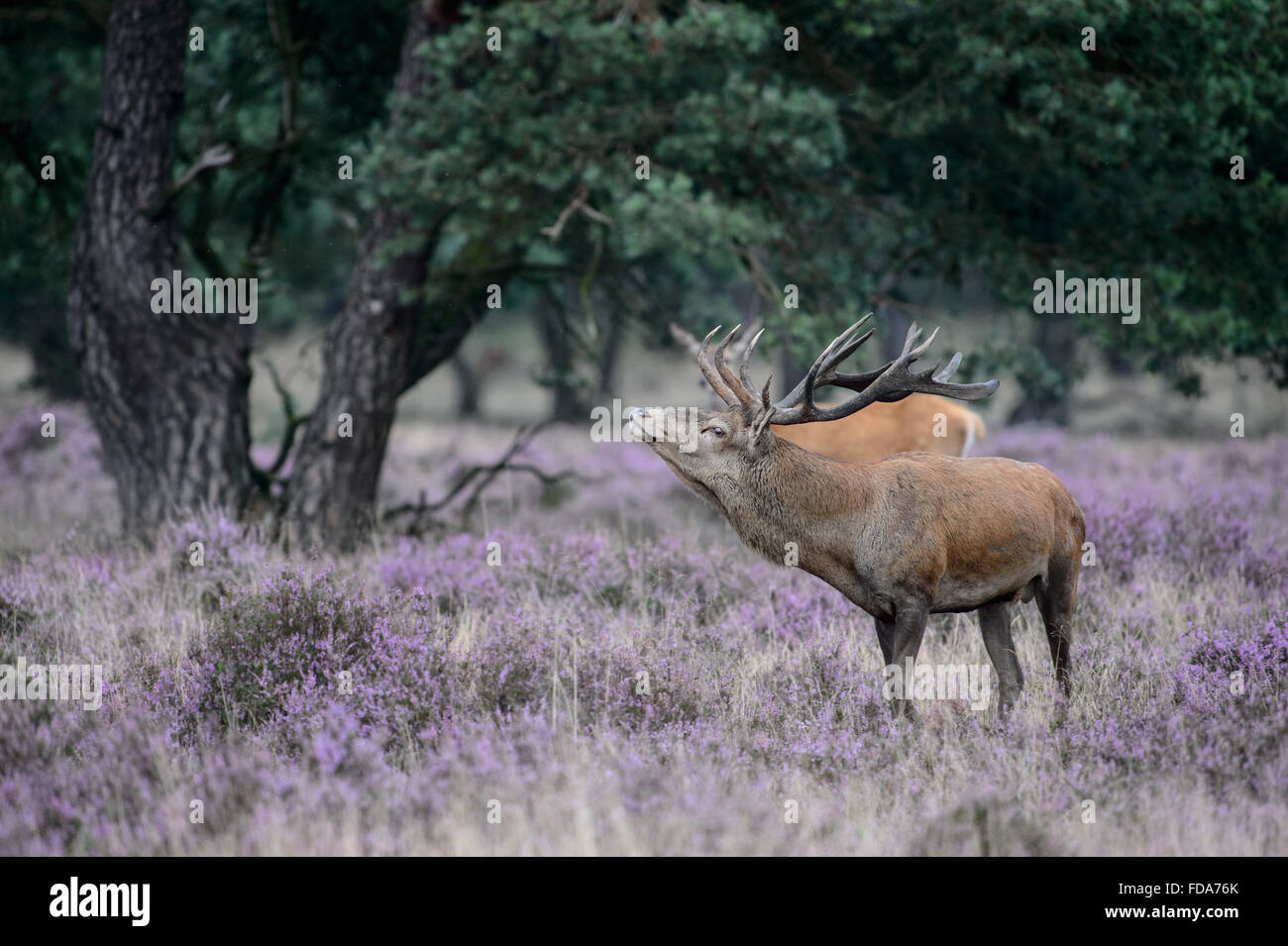 Red deer stag with large antlers, in rutting season,  impressive behaviour. Next to a big pine tree in a field with - Stock Image
