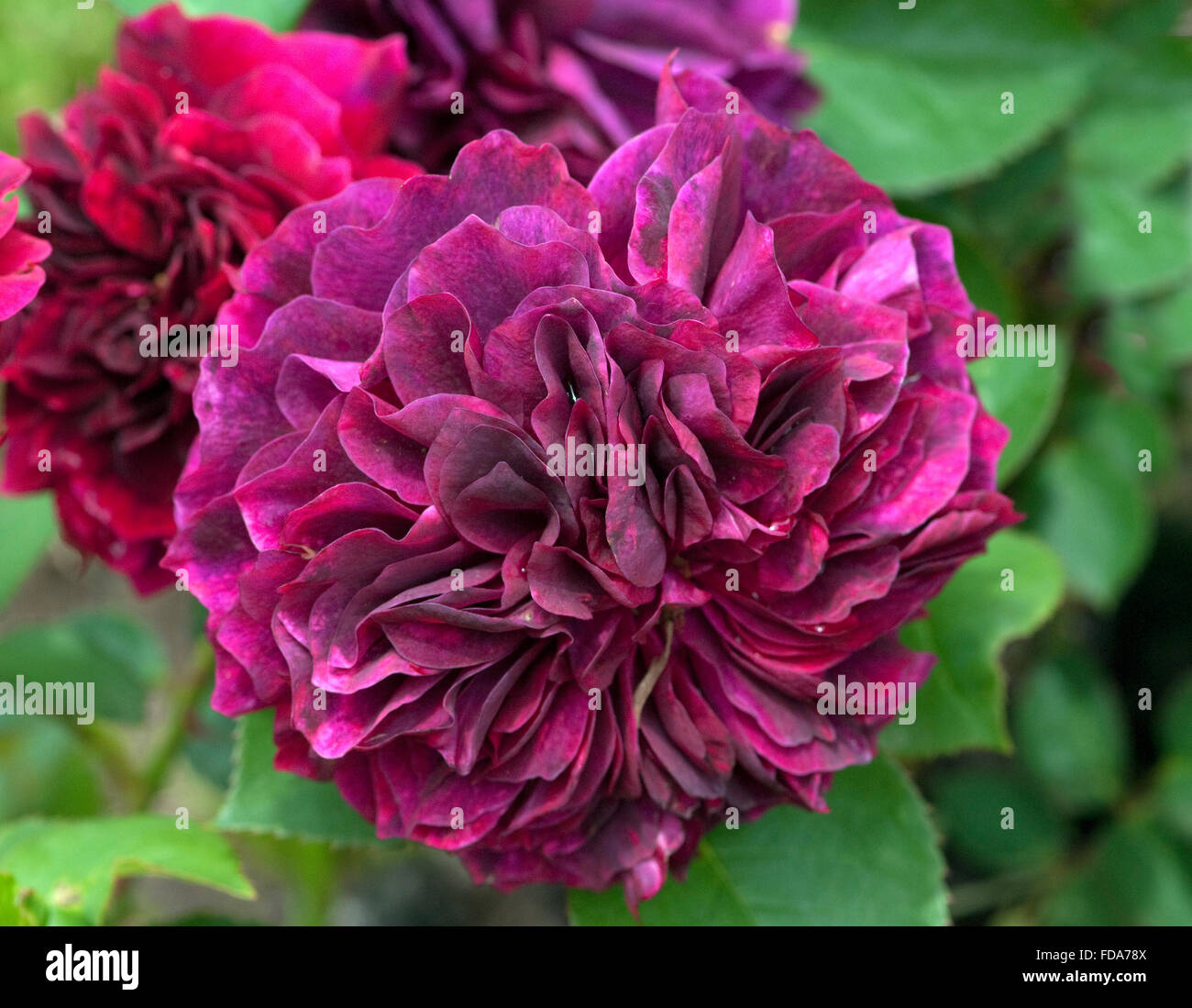 Englische Rose, prospero - Stock Image
