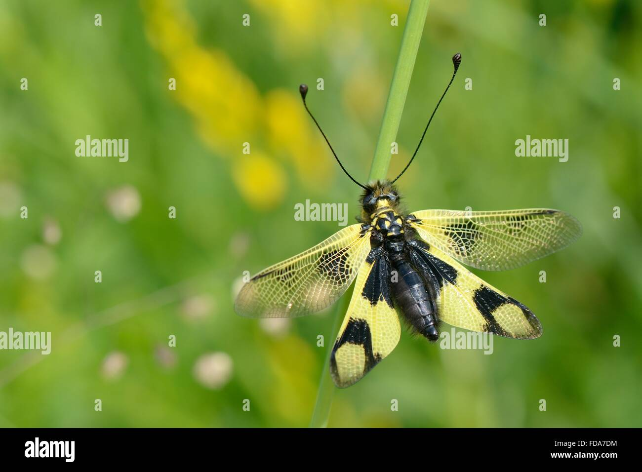 Owlfly (Libelloides longicornis) resting on a plant stem in an alpine flower meadow, Sutjeska Park, Bosnia Herzegovina, - Stock Image