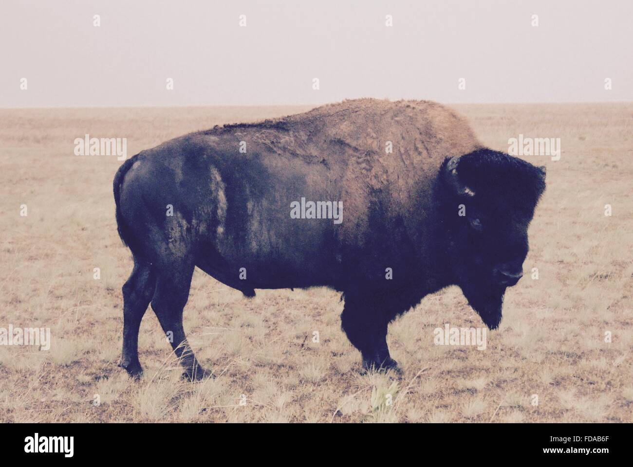 American bison out west. Stock Photo