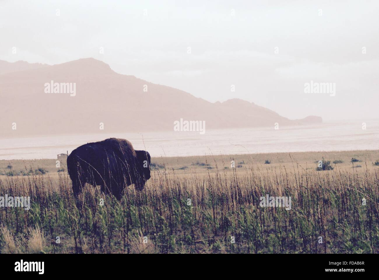 American bison out west. - Stock Image