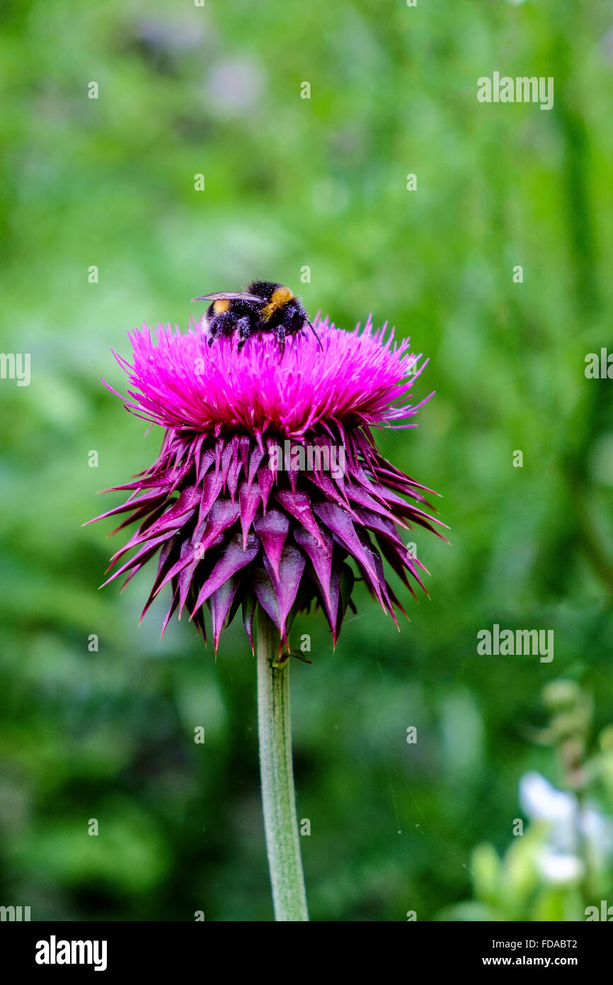 thistle Asteraceae flower bombus bumblebee uk - Stock Image