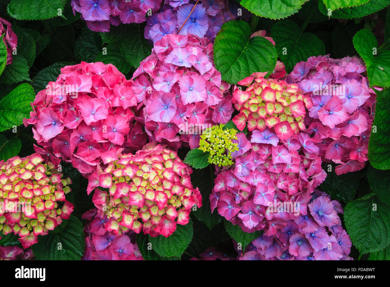 colorful color hydrangea hortensia flower flowers - Stock Image