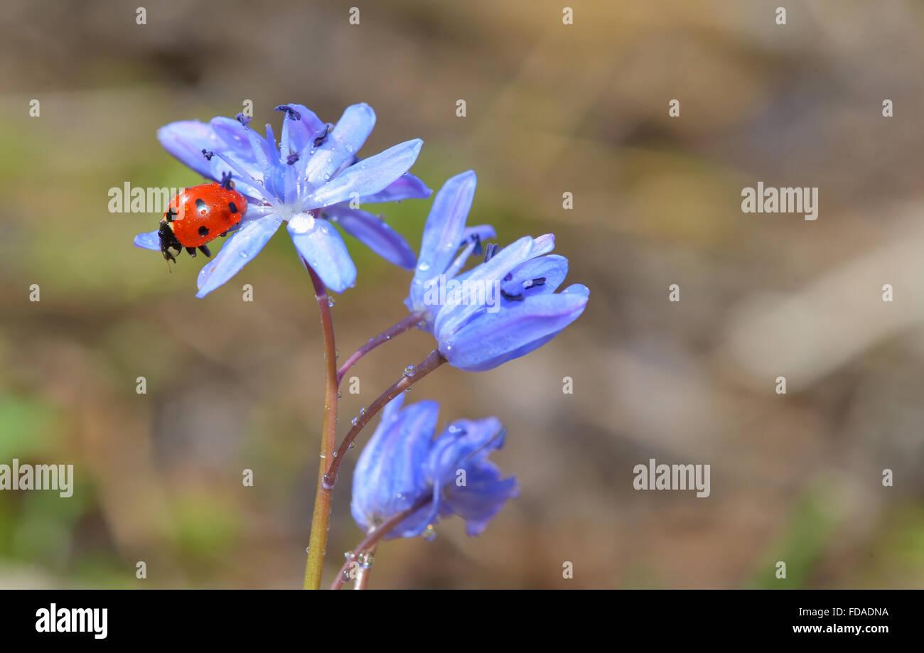 Ladybug sitting on a spring flower in garden Stock Photo