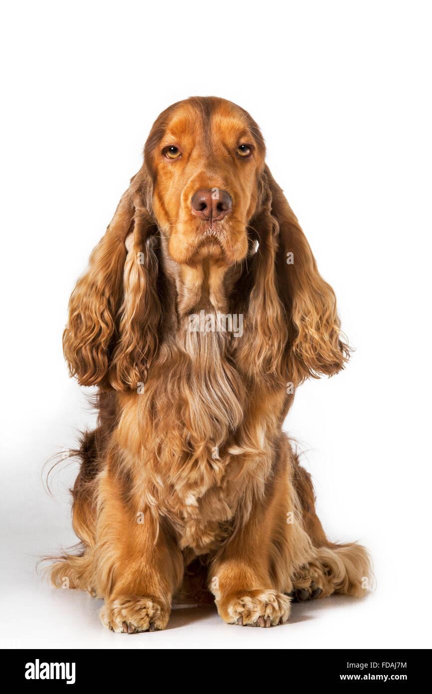 English Cocker Spaniel dog (Canis lupus familiaris) portrait against white background - Stock Image