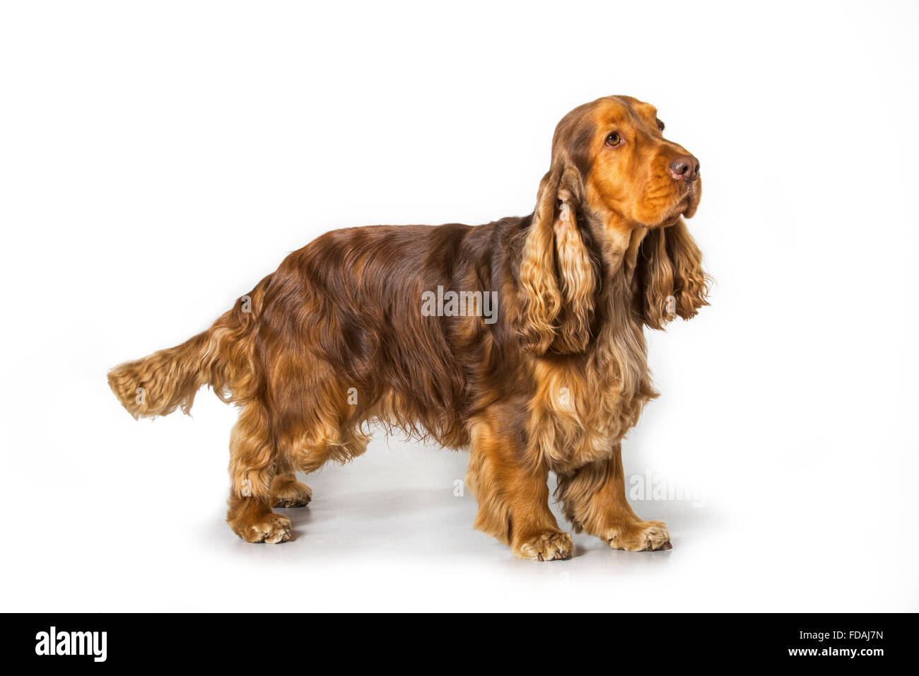 English Cocker Spaniel dog (Canis lupus familiaris) portrait against white background - Stock Image