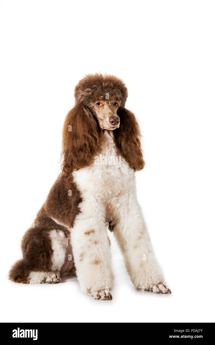 Harlequin poodle (Canis lupus familiaris) portrait against white background - Stock Image