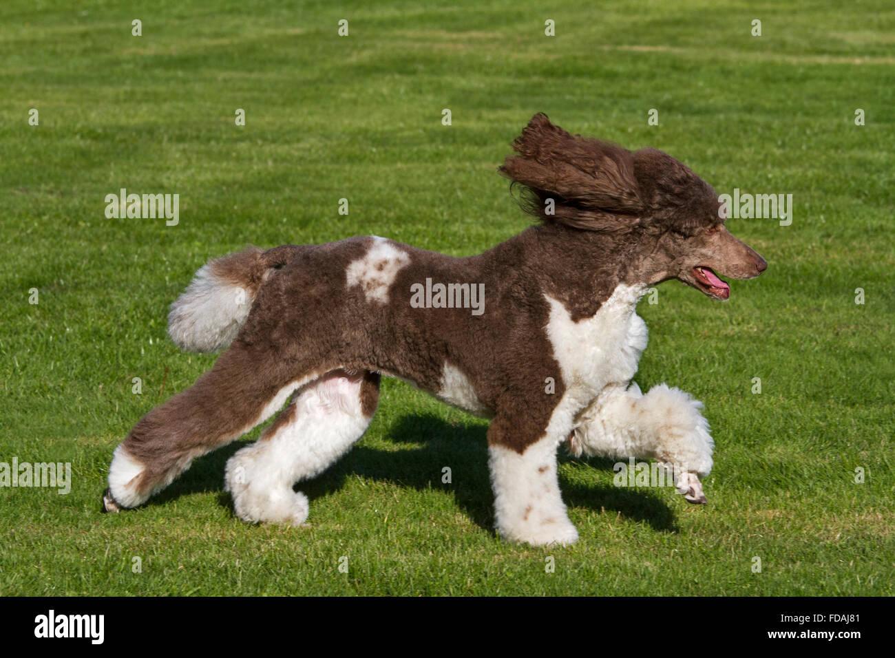 Harlequin poodle (Canis lupus familiaris) running in garden - Stock Image