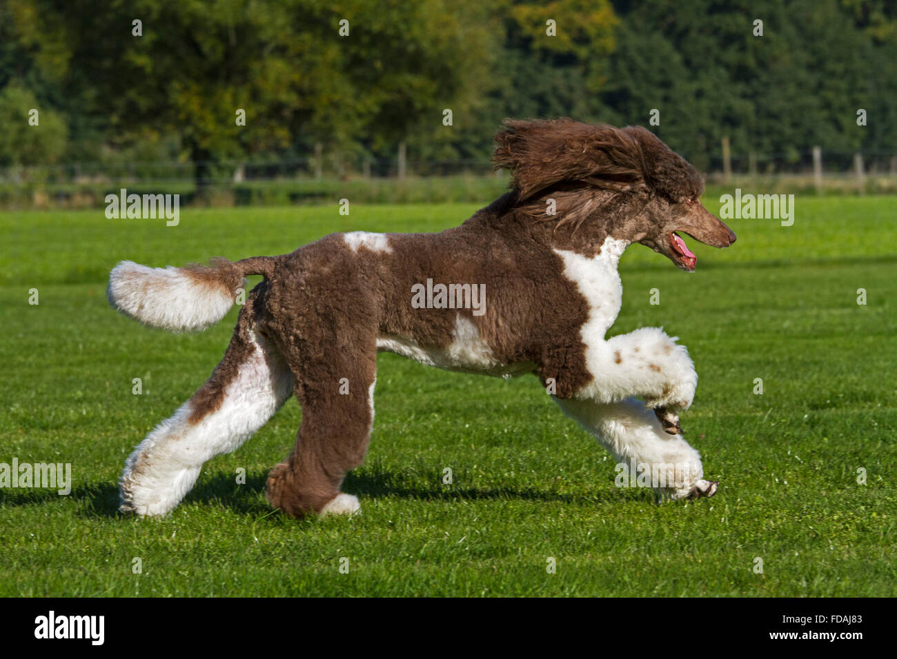 Harlequin poodle (Canis lupus familiaris) running in garden Stock Photo