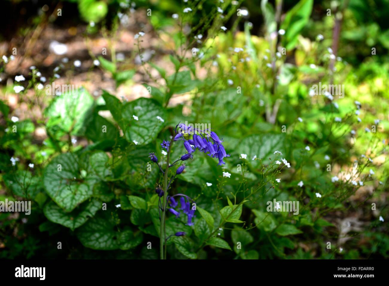 Bluebell Brunnera macrophylla Mr Morse Heartleaf brunnera Siberian bugloss shade shady shaded woodland garden RM - Stock Image