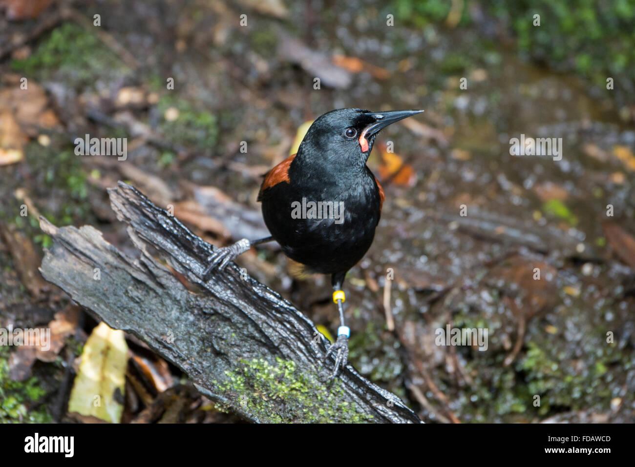 New Zealand, Marlborough Sounds, Queen Charlotte Sound, Motuara Island aka Motu Ara. Predator-free island bird reserve. Stock Photo