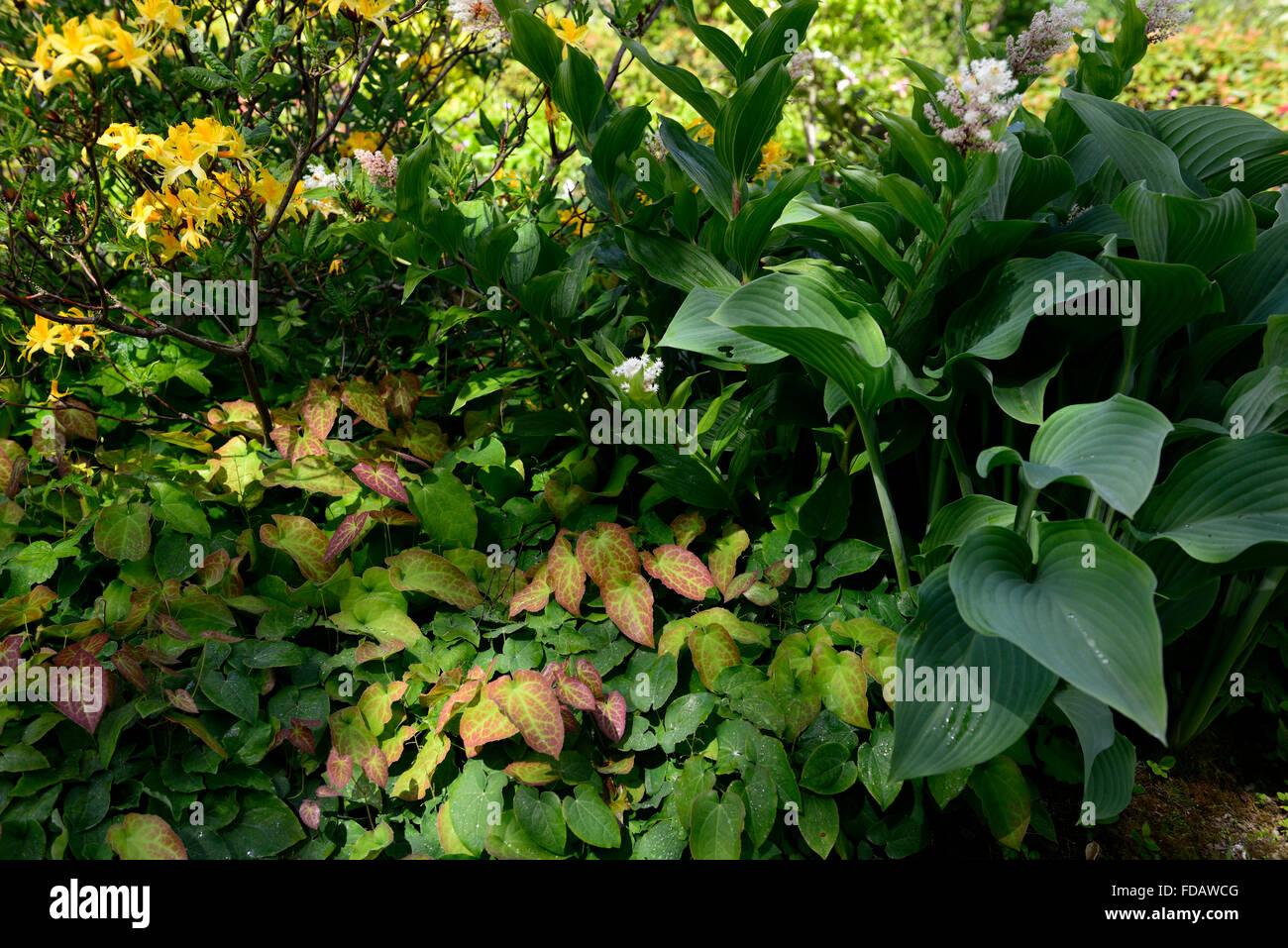Hosta nigrescens krossa regal epimedium maianthemum racemosum yellow hosta nigrescens krossa regal epimedium maianthemum racemosum yellow white flowers woodland shade shady shaded garden rm floral mightylinksfo